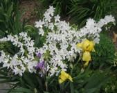 azalea,-irises