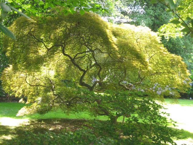maples-3-Japanese-cut-leaf-maple,-Moorestown,-7-13