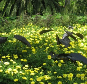 4-elephant's-ears-in-a-see-of-yellow-marguerites,-Longwood-Gardens[1]