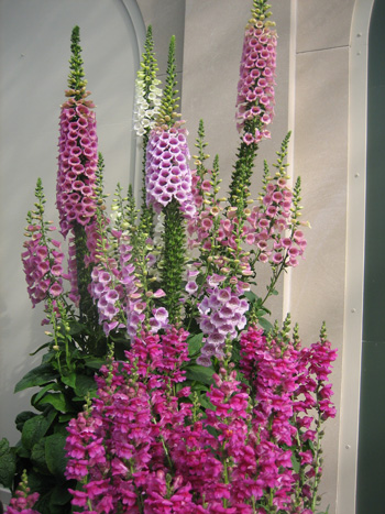 4-pink-foxgloves,-Longwood-Gardens