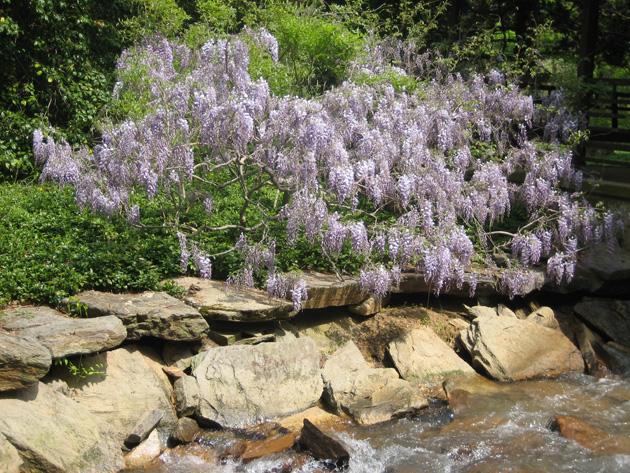 5-wisteria,-Longwood-Gardens-(2)