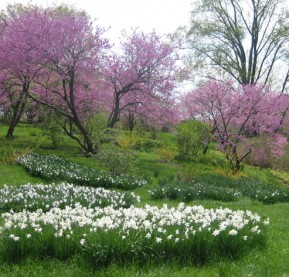 1-feature-daffodils-and-Oklahoma-redbuds,-Winterthur