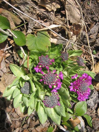 4-garden-Drumstick-primrose,-Denver-Botanical-Gardens