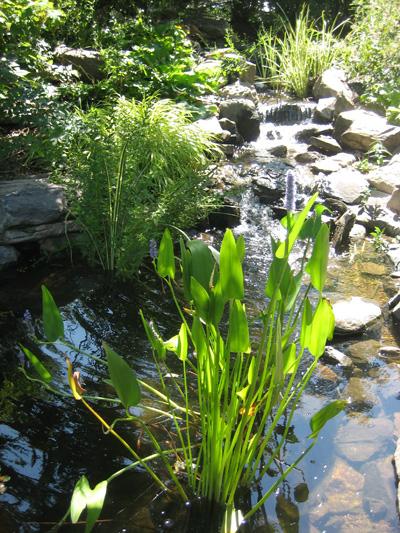 7-garden-blue-pickerel-weed-in-water,-Denver-Botanic-Gardens