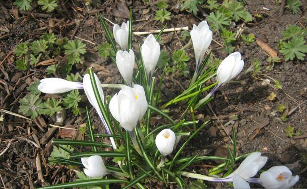 6-Crocuses,-white,-Denver-Botanical-Gardensedited