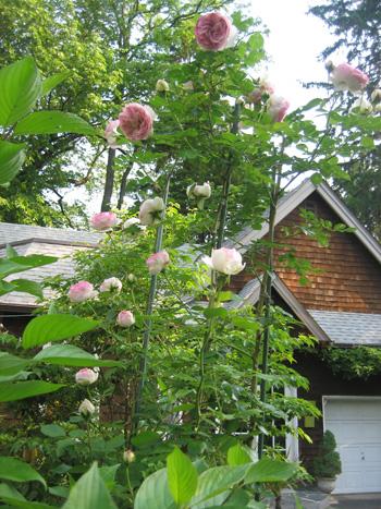 garden-5-roses,-Eden
