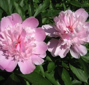 garden-6-peonies,-pink