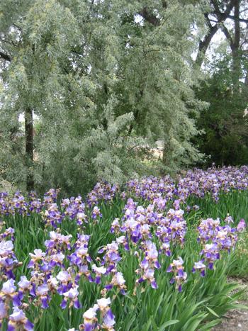 garden-7-purple-irises,-palisade