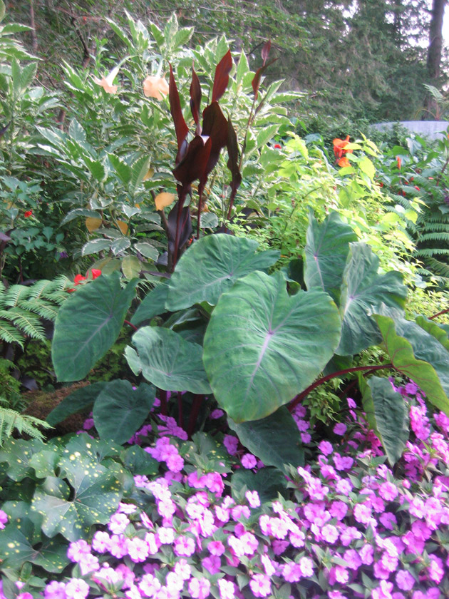 Butchart-Garden,-elephant-ears,--New-Guinea-impatiens-and-tropical-foliage