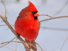 ncc-cardinalimg