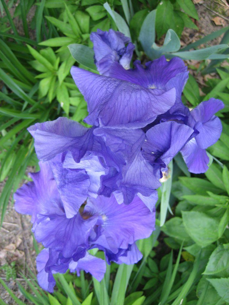 irises, blue