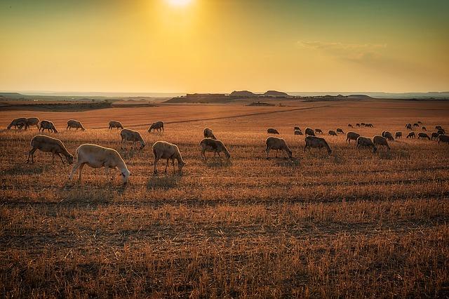 lamb-1081380_640