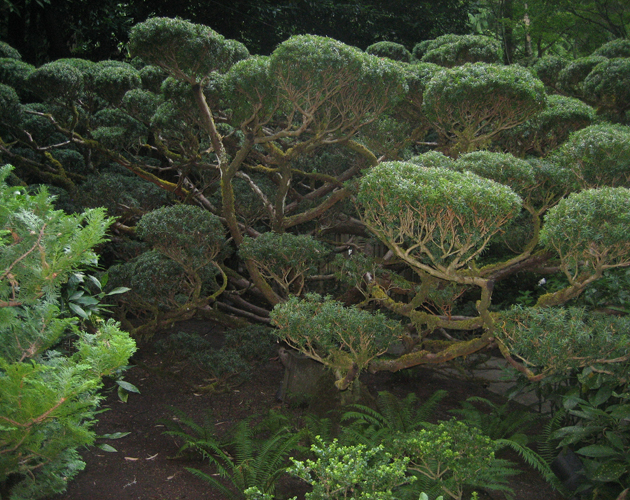 Butchart Garden, sculpted yew in Japanese garden[1]