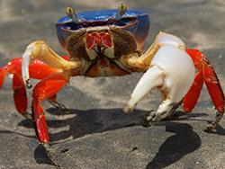 Halloween Crab - Zoomer