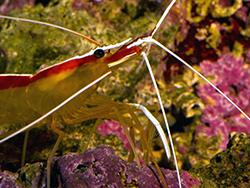 Scarlet Cleaner Shrimp - Zoomer