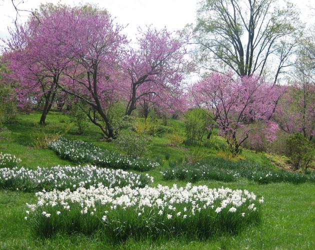 daffodils and Oklahoma redbuds, Winterthur[1]