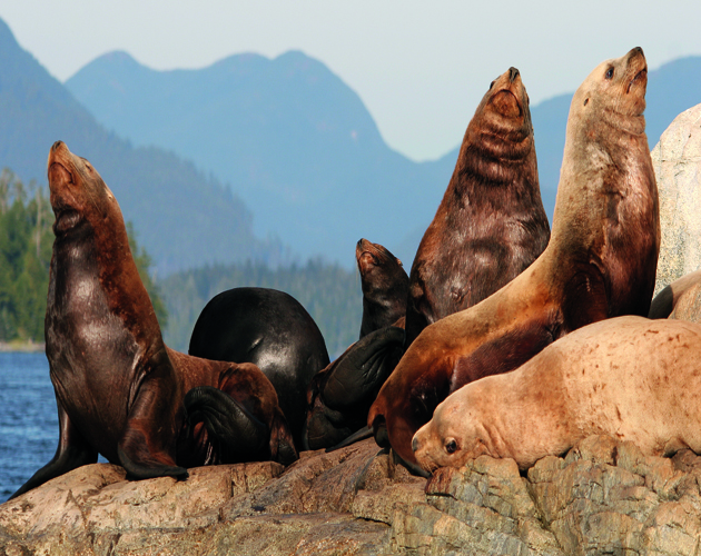 """Male sea lions """"sunbathing"""" on rocks in the Broken Group Islands area off the west coast of Vancouver Island, Canada."""