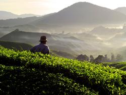 Farmer at tea plantation.