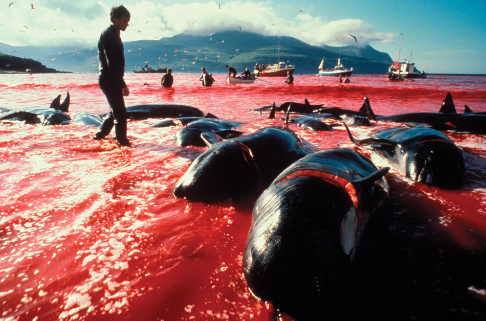 Pilot whale carcasses on the shores of Leynar Bay, Faroe Islands stains the water red.