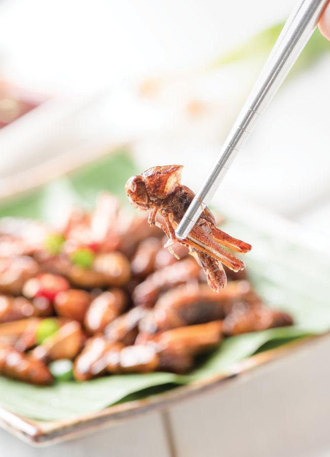 Fried grasshopper between two chopsticks.