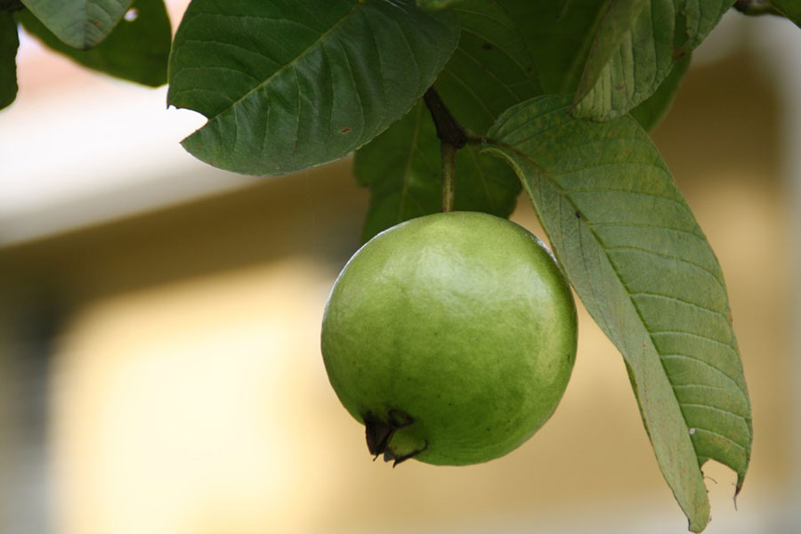 A guava fruit hanging on the tree.