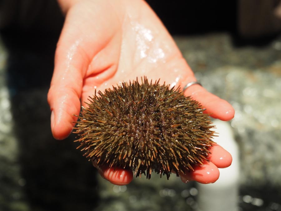 A sea urchin from the touch pool at Exploramer.