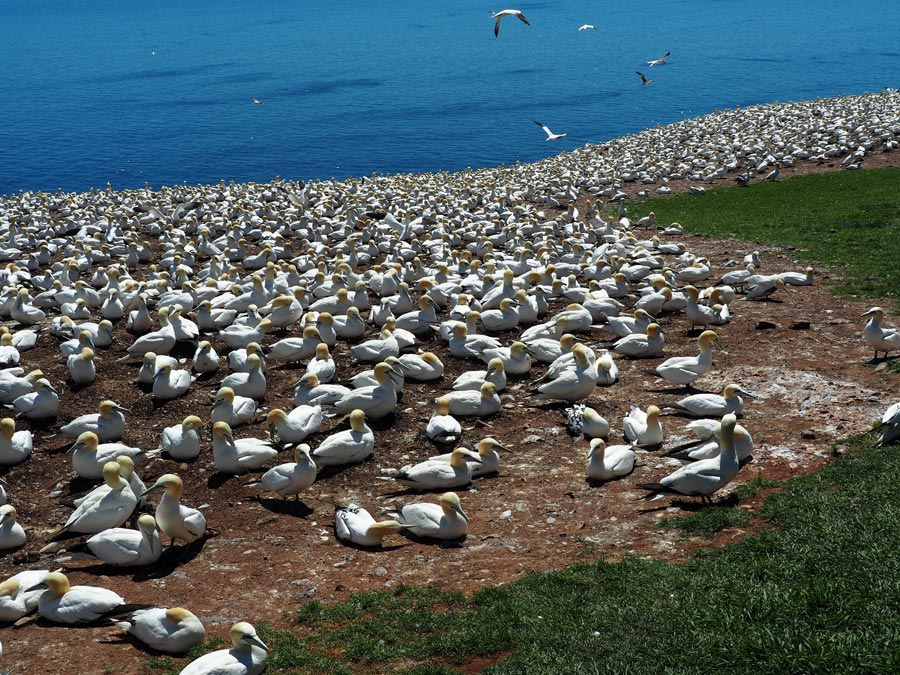 L'lle Bonaventure has the largest colony of Northern gannets in North America.