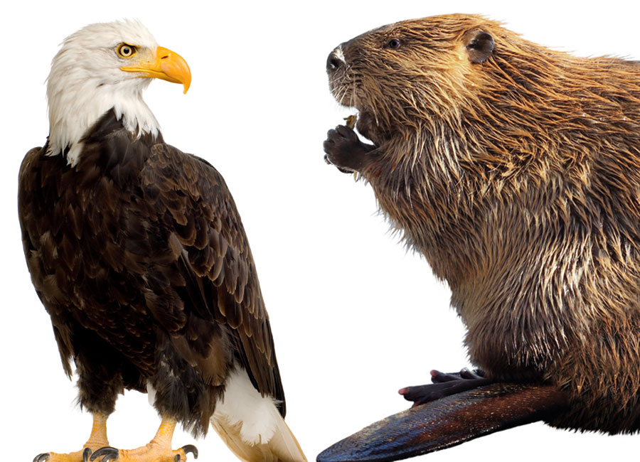 An eagle and a beaver looking at one another.