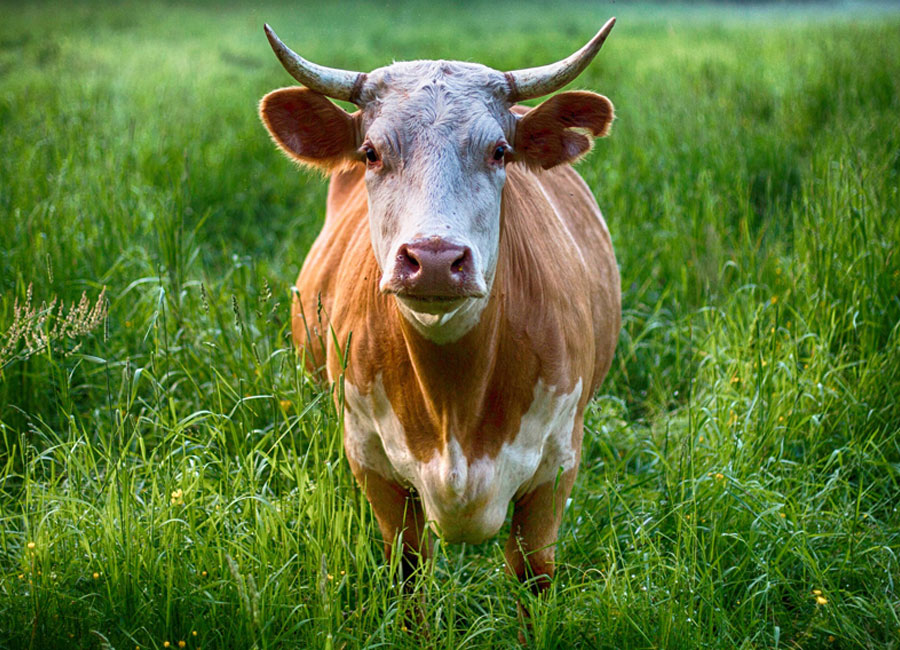 A light brown and white bull standing in tall grass.