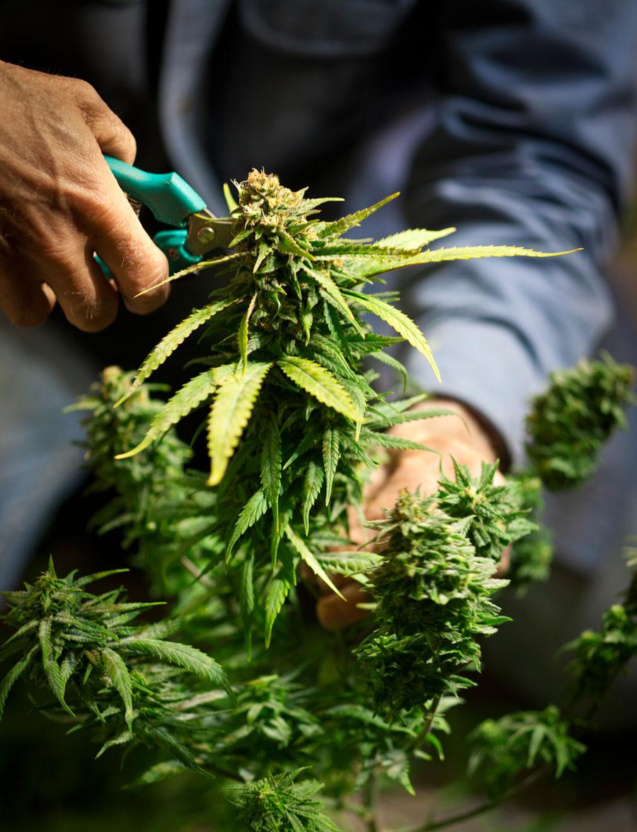 Marijuana Legalized in Canada
