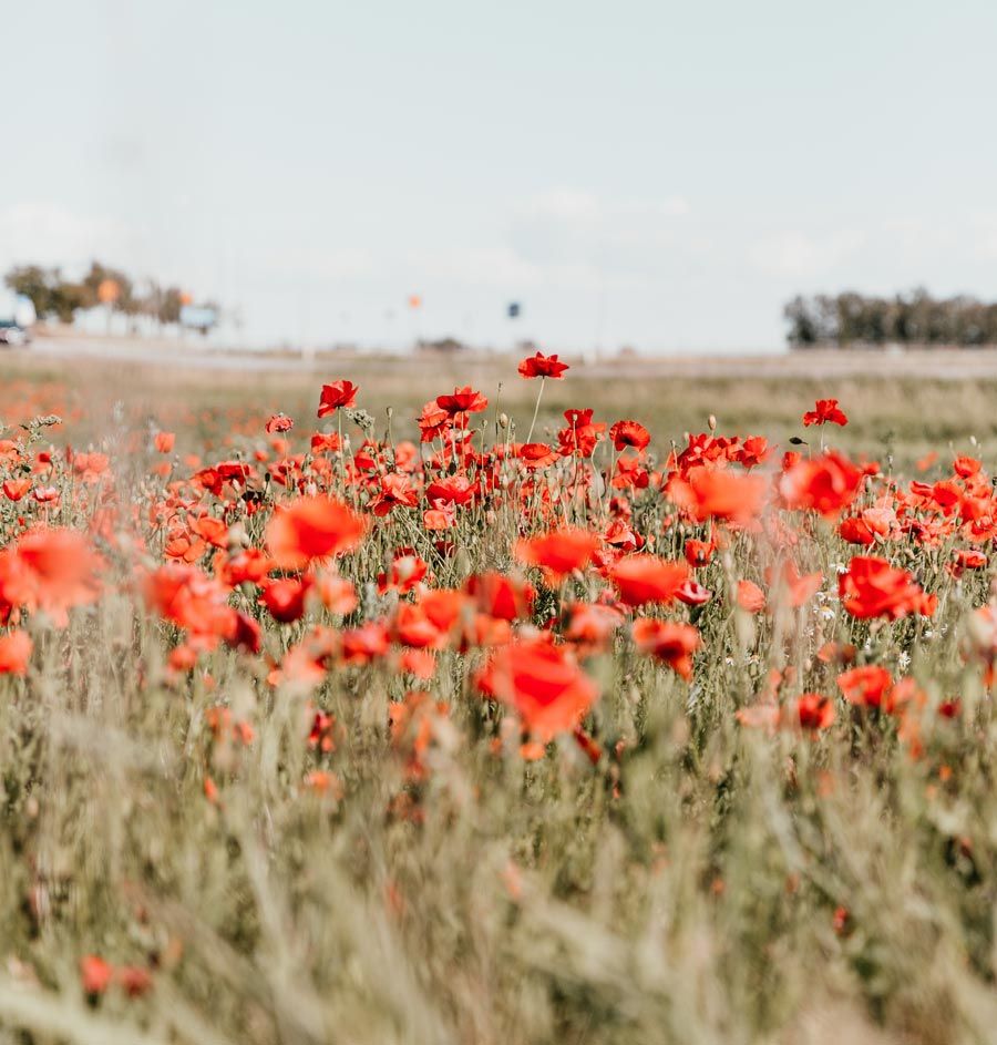 A field of poppies during the daytime