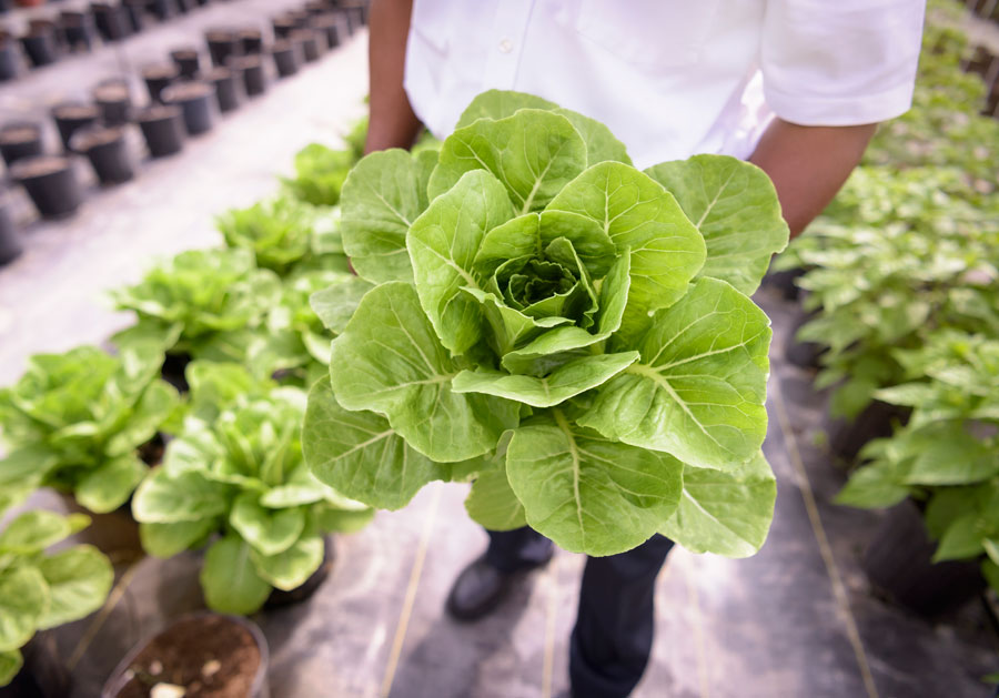 A man holds a head of romaine lettuce