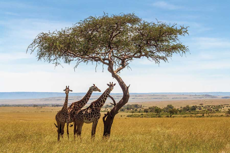 Three giraffe's standing by a tree in a field in South Africa.