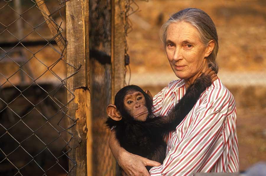 Jane Goodall holding a babt chimpanzee.