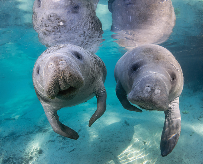 A photo of two small manatees.