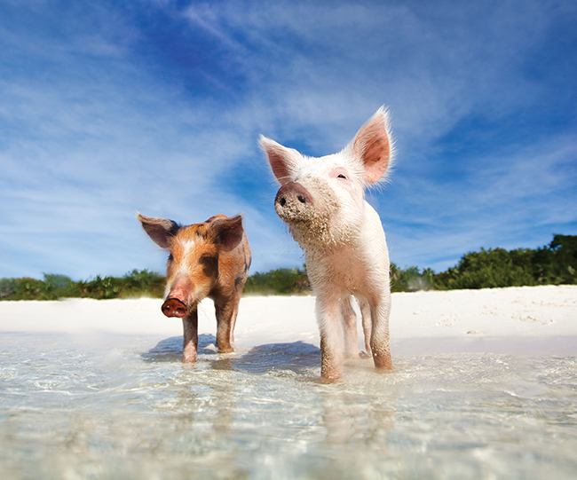 A photo of the resident pigs on Staniel Cay.