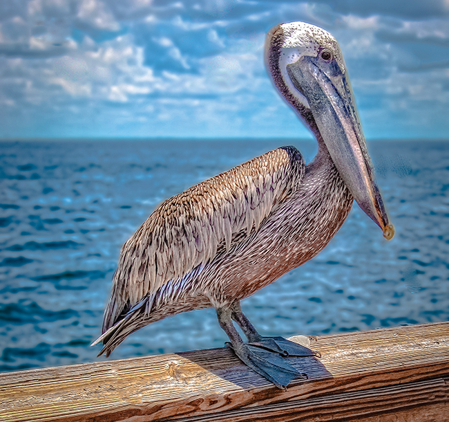 A Florida pelican sits on a wooden railing near the Tampa Bay.