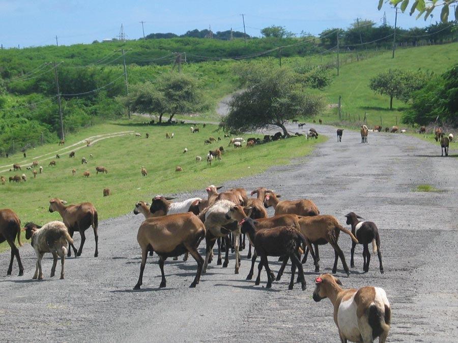 Goats on the roadsides and roadways are a common sight on Antigua.