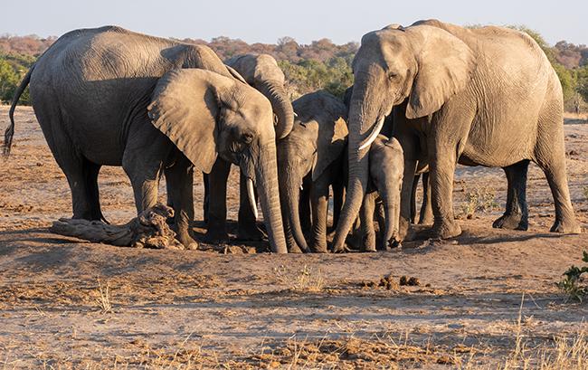 A small group of elephants.