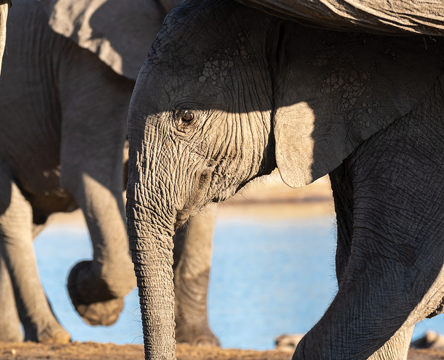 A baby elephant among a group.