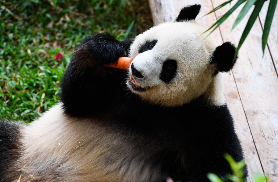 Giant panda Gong Gong