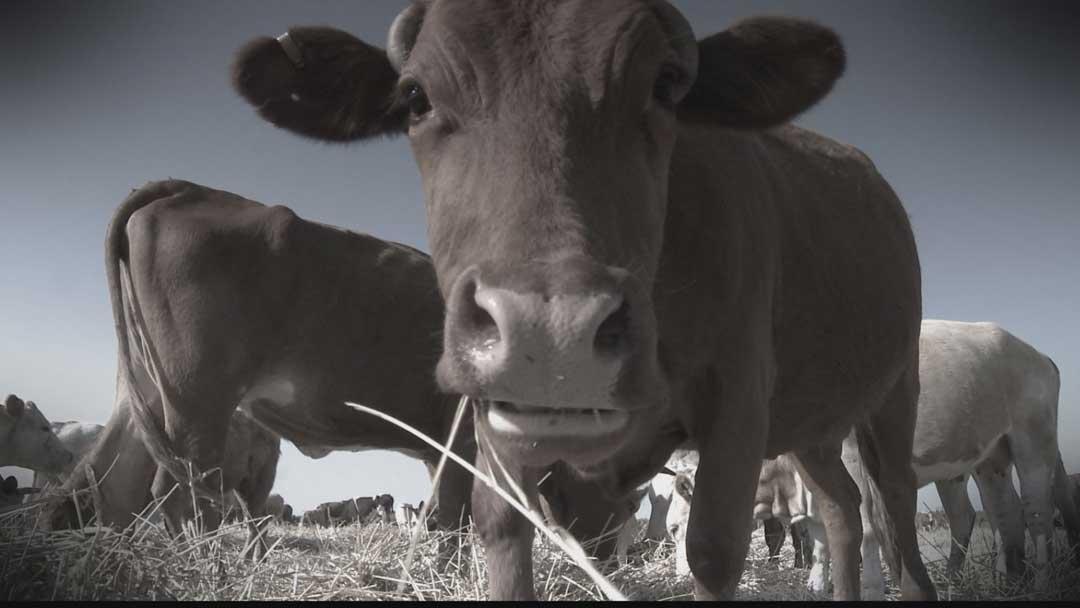 IP: The Red Heifer - Heifer Close Up