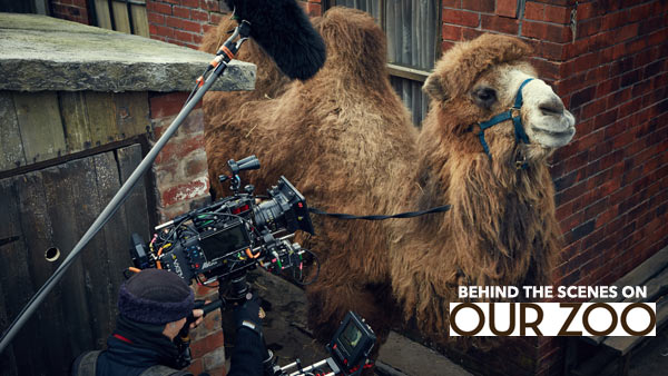 Our Zoo: Our Zoo:Sidney the camel. Behind-the-scenes filming ' Our Zoo'. Photo: © Big Talk Productions 2014