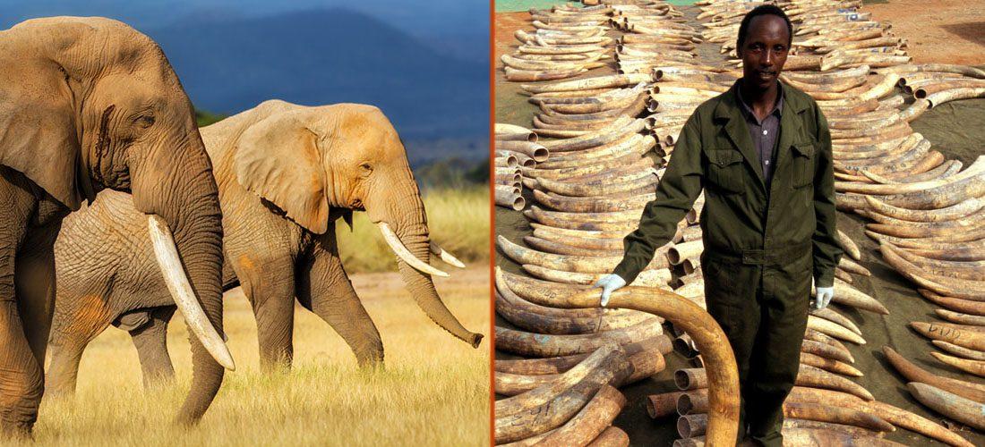 elephant-ivory-1100x500
