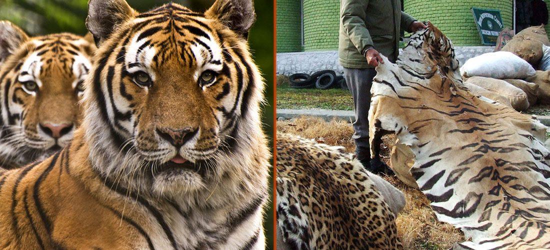 tiger-pelt-1100x500