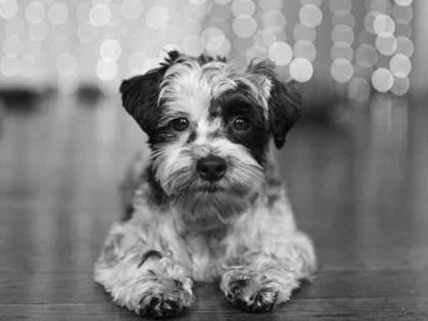 Zoomer Radio Pet Of The Week Zeek The Yorkshire Terrier Mix