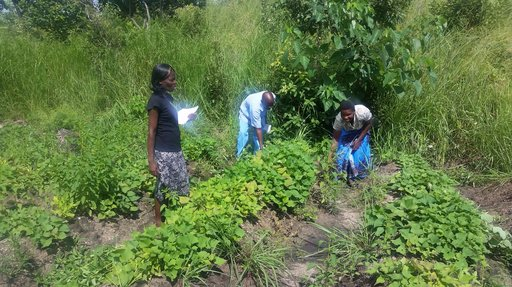Two of my counterparts, Annie and Masofa, checking the sweet potato leaves for damage.