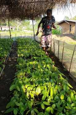 A community member waters the emerging cocoa saplings