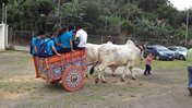 Celebrating rural tourism with a ride on the traditional Costa Rican oxcart.