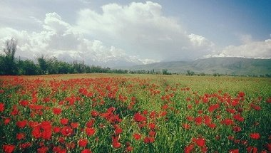 Dostuk_villate_poppies_2_reduced.jpg